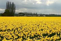 Daffy for Daffodils