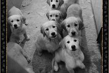 Breeding Golden Retriever   www.royalcrestgoldn.it / Puppies available