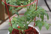 From my GroBucket Garden / Self watering sub-irrigation planter