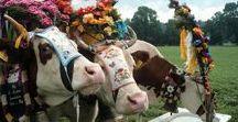 """""""Almabtrieb"""", Bavarian spectacle / Der Bergsommer endet mit dem Almabtrieb oder """"Viehscheid"""", wie er im Allgäu genannt wird. Nach ca. hundert Tagen auf der Alm kehren Kühe und Schafe im September wieder ins Tal zurück. Die tiere werden im Frühjahr ins Gebirge getrieben um widerstandsfähig zu werden und gesund zu bleiben.  Dieses bayerisches Brauchtum wird jedes jahr gefeiert. Nicht nur die Tiere werden mit prächtigem Blumenschmuck und großen Glocken dekoriert, auch die Dorfbewohner werfen sich in ihre wunderschöne Tracht."""