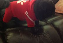 Brutus the Pug / Getting dressed is no fun