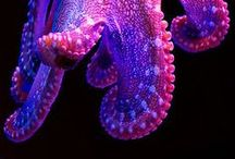 Purple Octopi /