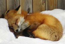 hashtag obsessed: foxes