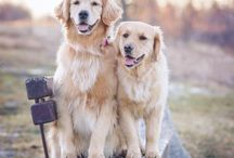 Golden Retriever / Golden retrievers are a very smart, loyal and caring breed.