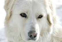 The Maremma: an Italian Sheep Dog / The Pastore Maremmano Abruzzese - a bit of a mouthful, so we'll settle for Maremma.  A Livestock Guardian Dog.  Gentle with humans, ultra-gentle with livestock.  We have one, called Luce meaning light, because she's the guiding-light guardian for our flock of chickens.  Used every day by Italian shepherds as a guardian for sheep and goats.  Independent thinkers, strong-willed - not a breed for the new dog owner.  But for those that can manage the breed - there's none better.