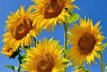 Sunflowers! / Sunflowers are a happiness-giving part of Italian life. Here you'll find lots of pictures, and details of how to grow them, where to find them and the best time of year to see them.  Not to mention cooking, home décor, stationery and wedding ideas.