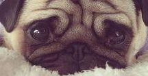 Pug Love / Pugs! Everyone loves pugs.