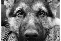 German Shepard dogs ❤