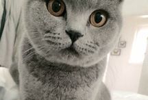 Charlie The British Shorthair