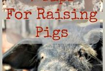 Pigs on the Homestead / How to raise pigs, all about raising pigs on the homestead