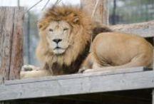 TCWR Lions / Turpentine Creek Wildlife Refuge provides lifetime homes for abandoned, abused, and neglected 'big cats'. / by Turpentine Creek Wildlife Refuge