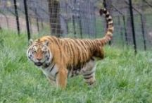 TCWR Tigers / Turpentine Creek Wildlife Refuge provides lifetime homes for abandoned, abused, and neglected 'big cats'. / by Turpentine Creek Wildlife Refuge