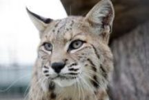TCWR Bobcats / Turpentine Creek Wildlife Refuge provides lifetime homes for abandoned, abused, and neglected 'big cats'. / by Turpentine Creek Wildlife Refuge