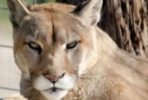 TCWR Cougars / Turpentine Creek Wildlife Refuge provides lifetime homes for abandoned, abused, and neglected 'big cats'. / by Turpentine Creek Wildlife Refuge