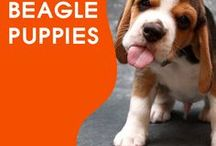 Everything Beagle Puppies / We All Love Our Pets, They Are Members Of Our Family, So Come And Show Off Your Loved Family Friends That You Share Your Life With. Feel free to invite your friends :) HAPPY PINNING!