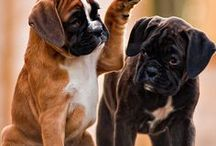 Everything Boxer Puppies / We All Love Our Pets, They Are Members Of Our Family, So Come And Show Off Your Loved Family Friends That You Share Your Life With. Feel free to invite your friends :) HAPPY PINNING!