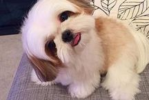 Everything Shih Tzu Puppies / We All Love Our Pets, They Are Members Of Our Family, So Come And Show Off Your Loved Family Friends That You Share Your Life With. Feel free to invite your friends :) HAPPY PINNING!