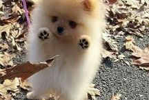 Everything Pomeranian Puppies / We All Love Our Pets, They Are Members Of Our Family, So Come And Show Off Your Loved Family Friends That You Share Your Life With. Feel free to invite your friends :) HAPPY PINNING!