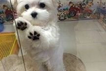 Everything Maltese Puppies / We All Love Our Pets, They Are Members Of Our Family, So Come And Show Off Your Loved Family Friends That You Share Your Life With. Feel free to invite your friends :) HAPPY PINNING!