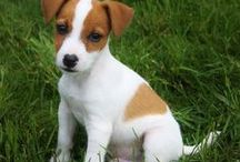 Everything Jack Russell Puppies / We All Love Our Jack Russell, They Are Members Of Our Family, So Come And Show Off Your Loved Family Friends That You Share Your Life With. Feel free to invite your friends :) HAPPY PINNING!