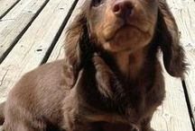 Everything Dachshund Puppies / We All Love Our Dachshund, They Are Members Of Our Family, So Come And Show Off Your Loved Family Friends That You Share Your Life With. Feel free to invite your friends :) HAPPY PINNING!