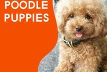 Everything Poodle Puppies / We All Love Our Poodle, They Are Members Of Our Family, So Come And Show Off Your Loved Family Friends That You Share Your Life With. Feel free to invite your friends :) HAPPY PINNING!