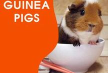 Everything Guineas / We All Love Our Guineas, They Are Members Of Our Family, So Come And Show Off Your Loved Family Friends That You Share Your Life With. Feel free to invite your friends :) HAPPY PINNING!