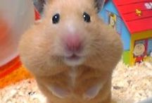 Everything Hamsters / We All Love Our Hamster, They Are Members Of Our Family, So Come And Show Off Your Loved Family Friends That You Share Your Life With. Feel free to invite your friends :) HAPPY PINNING!