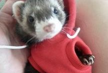 Everything Ferrets / We All Love Our Ferret, They Are Members Of Our Family, So Come And Show Off Your Loved Family Friends That You Share Your Life With. Feel free to invite your friends :) HAPPY PINNING!