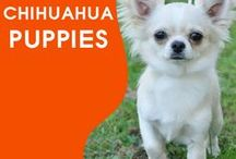 Everything Chihuahua Puppies / We All Love Our Chihuahua, They Are Members Of Our Family, So Come And Show Off Your Loved Family Friends That You Share Your Life With. Feel free to invite your friends :) HAPPY PINNING!