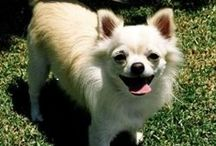 Chihuahuas / Chihuahuas are the little big dogs. Love them or hate them, they are beyond cute!