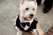 Westie Obsession. / Yeah I have a board dedicated to my dog get over it.