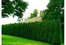 Thuja/trees/hedges/bushes