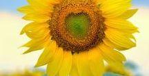 Amazing Sunflower / Sunflower symbolizes hope.