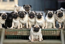 Pugs / by Phillip Smith
