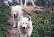 狼 & animal