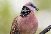 Birds- Pigeons, Doves, Turacos