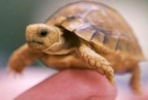 Reptiles- Turtles, Tortoises