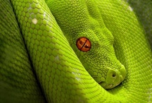 Reptiles- Snakes