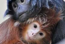 Primates, Apes, Gorillas, Sloths
