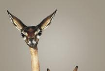 Deer, Antelope, Elk, Moose