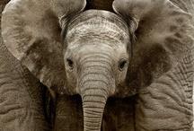 Elephants, Rhinos, Hippos