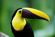Birds- Toucans, Toucanets, & Aracaris