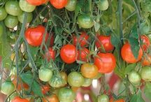 Garden :: Hardy Tomatoes