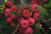 Garden :: Hardy Apple Trees