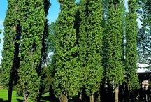 Garden :: Cold Climate Trees
