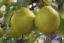 Garden :: Hardy Pears and Plums