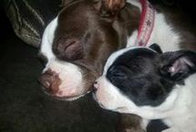 Boston (Terrier) Love / My Boston Adventure / by Cherie Young