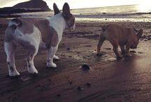 Dogs / French bulldog and caucasian shepherd