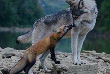 Rókák, farkasok